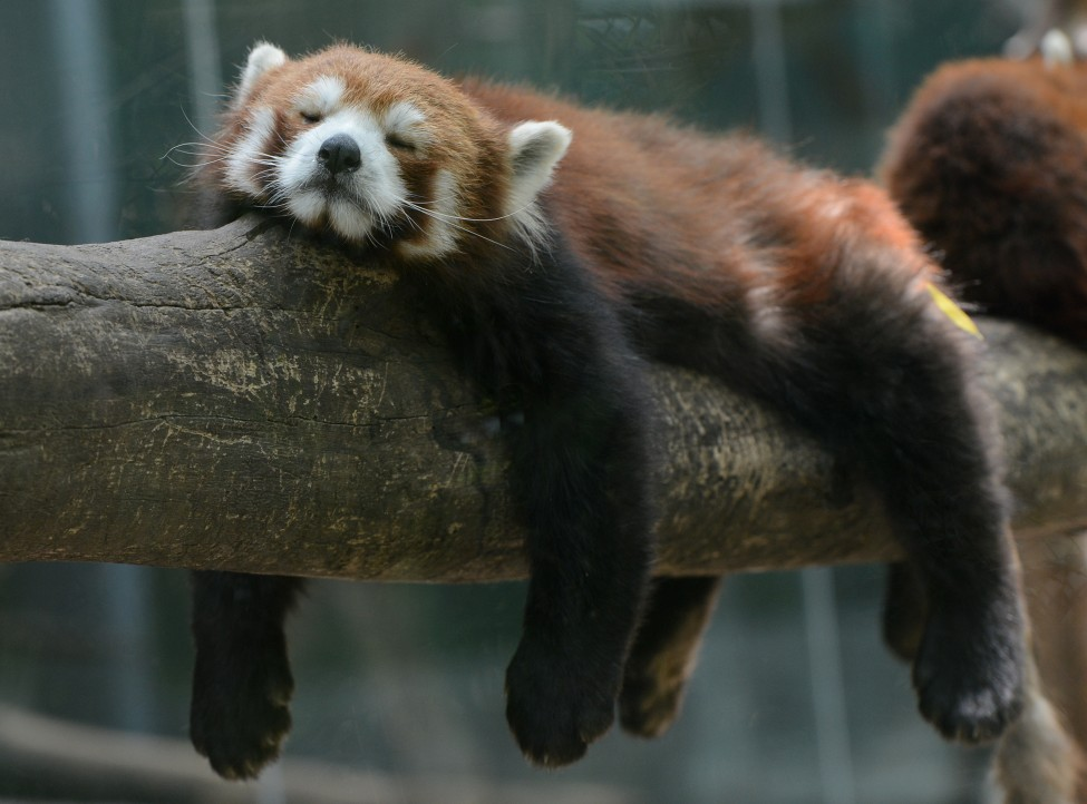 China Red Panda Bear