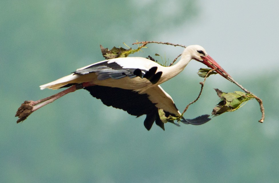 Germany Stork
