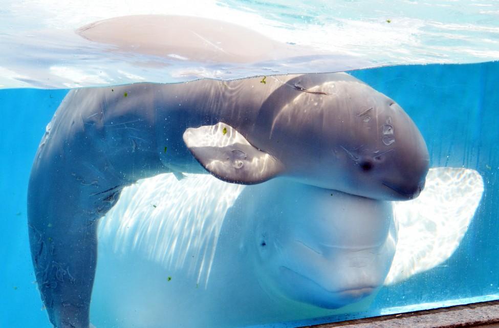 Baby beluga whale