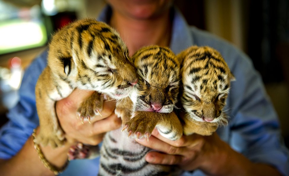 Netherlands Circus Tigers