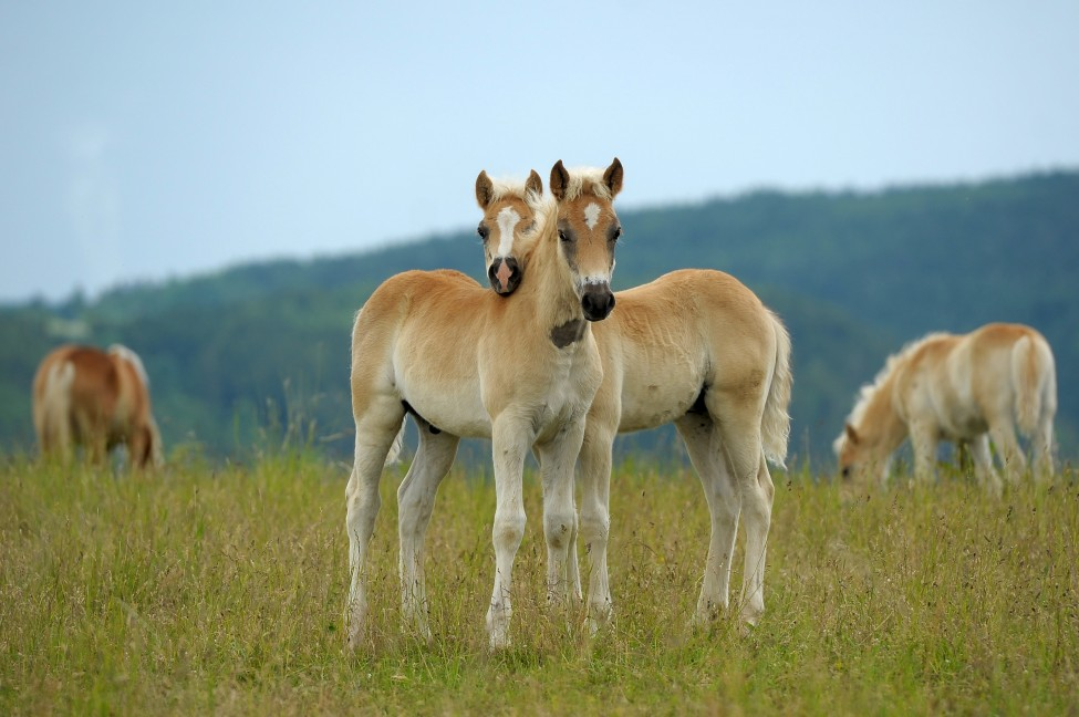 Germany Haflinger Studs