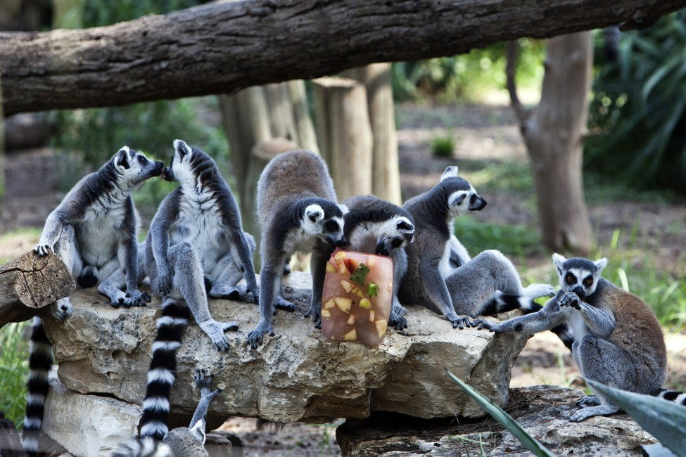 Israel Lemurs