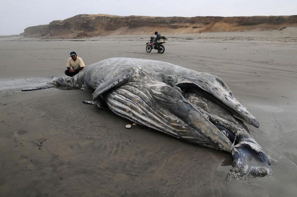 Peru Whale