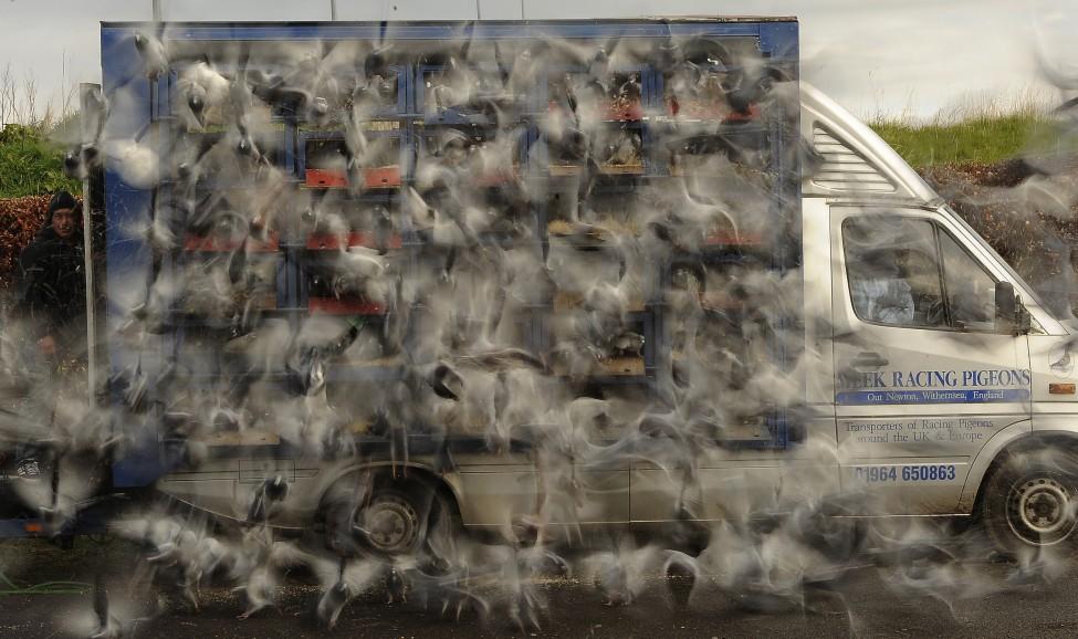 Britain Pigeons