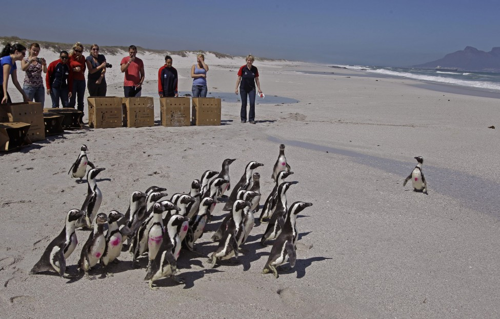 South Africa Penguin Release