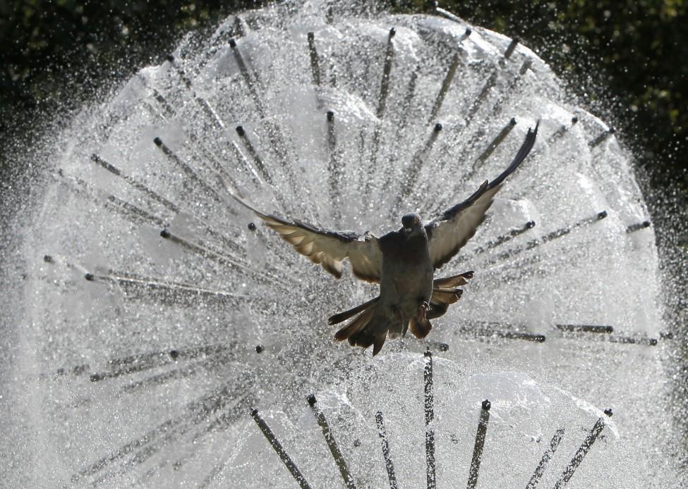 Ukraine Pigeon