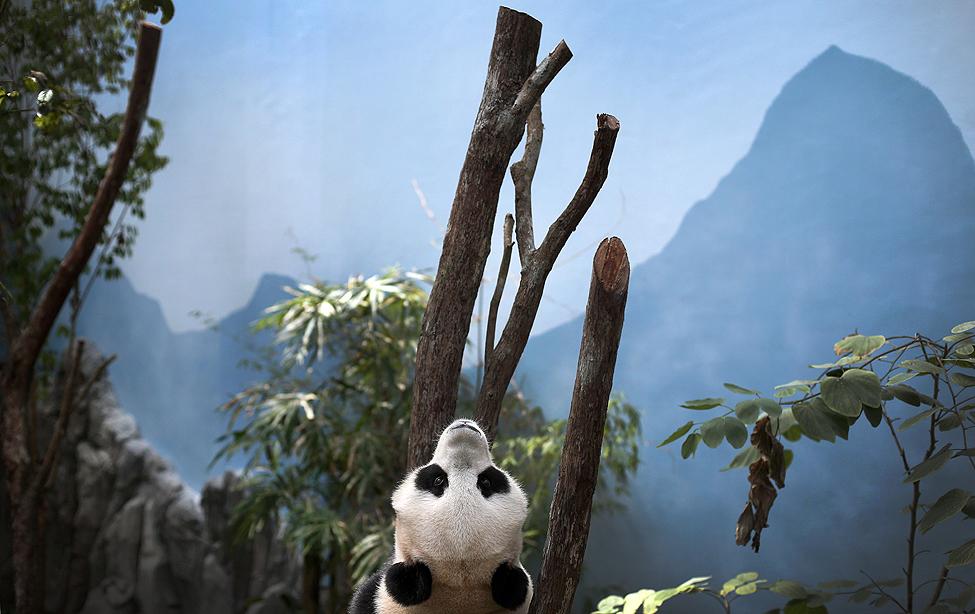 Singapore Giant Pandas
