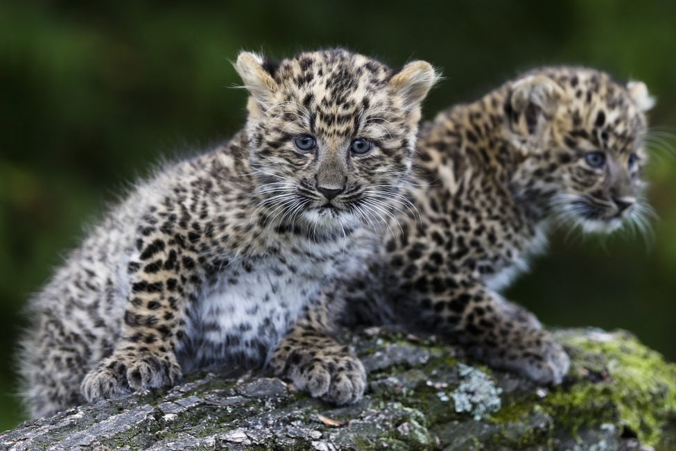 Germany North Chinese Leopard
