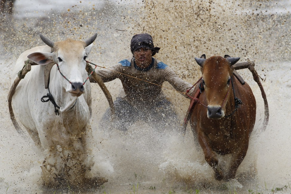 Indoensia Cow Racing