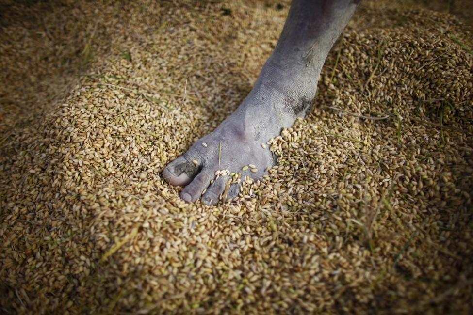 Nepal Harvest