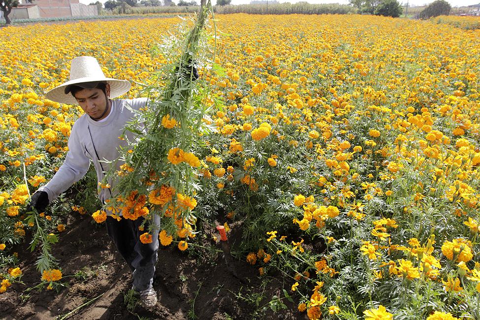 Mexico Marigold Harvest