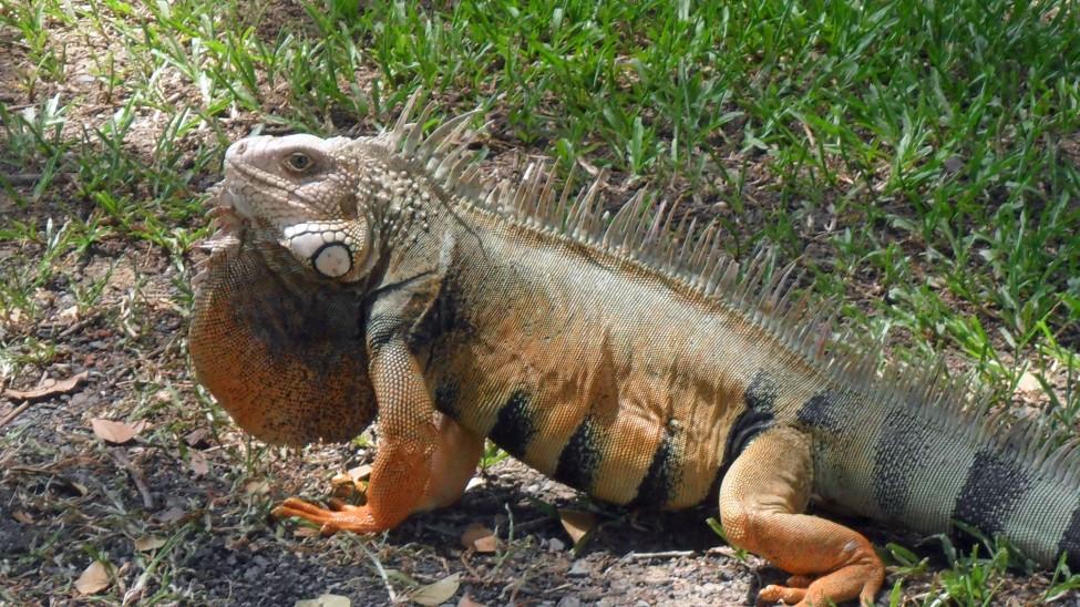 Puterto Rico Iguana