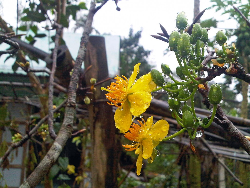 Vietnam Mai flower