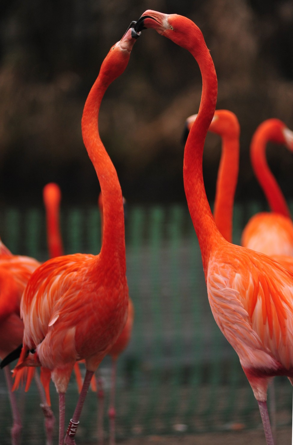 German Flamingos