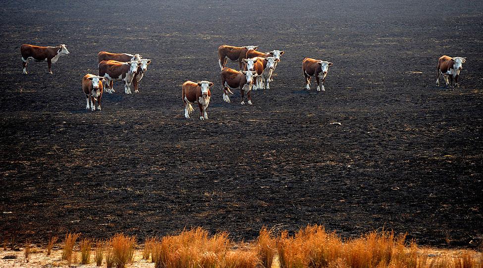 Australia Wildfires Cows