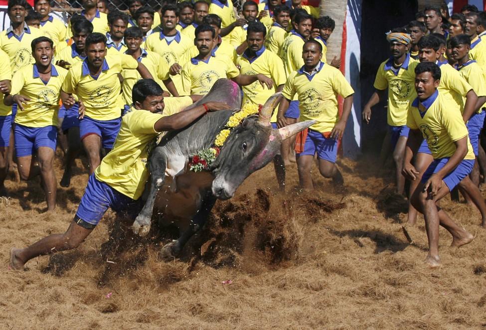 India Bull Taming