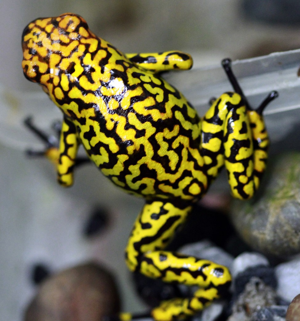 Colombia Poison Frog