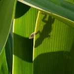 Lizard playing peekaboo on a banana plant in St. Petersburg, Forida, USA. (Photo by Catherine Smith/USA/VOA reader)