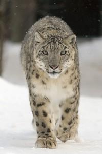 В поисках аппетитного браконьера? Нет, на самом деле снежные барсы избегают контакта с людьми.  Фото: Бернард Ландграф