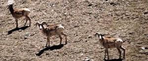 Известные своими винтовыми рогами, архары, крупнейшие в мире горные бараны, являются излюбленной объектом охотников за трофеями и браконьеров. Фото: Всемирный фонд дикой природы/Рональд Петоч