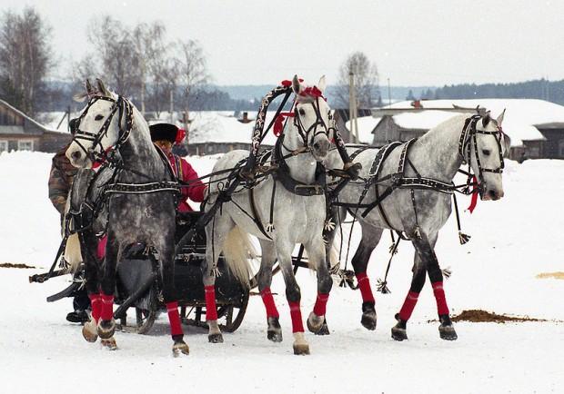 Российские лошадки любят пробежаться рысью по снегу. Тройка в Вологде. Фото: Лена.