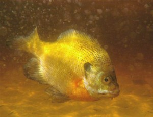 A bluegill fish (Photo: Tom Tetzner - U. S. Fish and Wildlife Service, Northeast Region