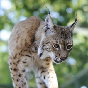 Has the lynx been shrinking in size?  If so, is global climate change to blame? (Photo: dogrando via flickr)