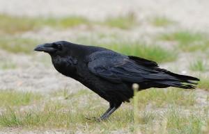 A raven (Corvus corax) (Photo: Accipiter (R. Altenkamp, Berlin))