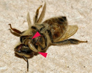 Fly larvae emerge from a bee after being deposited in the bee's abdomen several days earlier. (Photo: Core A, Runckel C, Ivers J, Quock C, Siapno T, et al.)