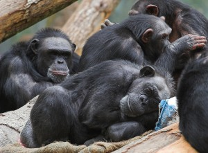 A gathering of chimpanzees (Photo: Klaus Post via Flickr/Creative Commons)