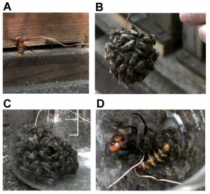 This is a sampling of workers from an artificially formed hot defensive bee ball. (Photos: Ugajin A, Kiya T, Kunieda T, Ono M, Yoshida T, et al. (2012) Detection of Neural Activity in the Brains of Japanese Honeybee Workers during the Formation of a ''Hot Defensive Bee Ball''. PLoS ONE 7(3): e32902. doi:10.1371/journal.pone.0032902)