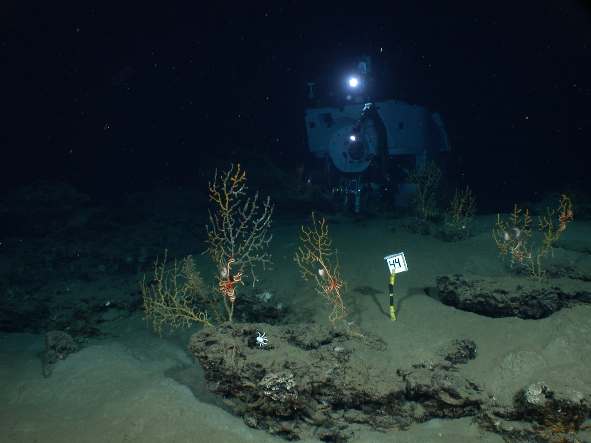 Study Shows Gulf Oil Spill Harmed Deep Sea Coral Science