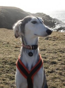 Certain breeds such as the Saluki appear genetically different because they were geographically isolated and were not part of the 19th century efforts to blend lineages to create most of the breeds we keep as pets today. (Photo: Keith Dobney)