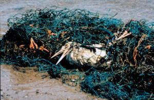 A sea bird dies after getting trapped in marine debris such as these old fishing nets (Photo: Ocean Conservancy)