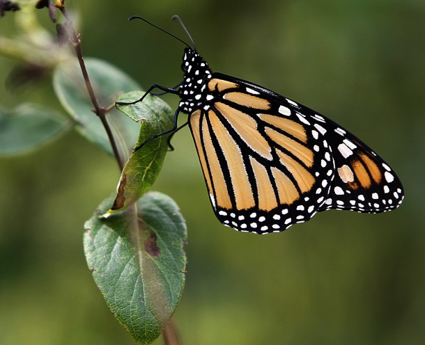 Millions of monarch butterflies are expected to migrate south in less than a month in their seasonal trip from Canada to Mexico. Ecologists in Kansas and Missouri say extreme temperatures in the Midwest could hurt their southern migration. (Photo: AP Photo/Toby Talbot)