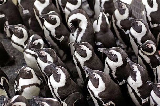 African penguins gather to keep warm as others are fed sardines by staff at the South African Foundation for the Conservation of Coastal Birds after they were recently found covered in oil on Robben Island, Cape Town, South Africa. (Photo: AP Photo/Schalk van Zuydam)