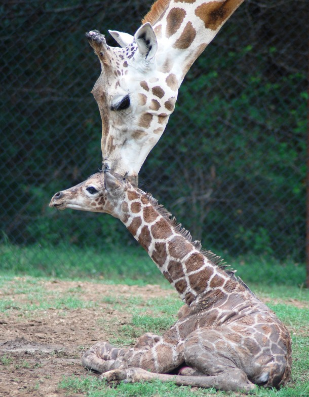 A giraffe calf was recently born at the Dickerson Park Zoo in Springfield, MO. Here, the baby giraffe sits while mother licks its head (Photo: Dickerson Park Zoo)