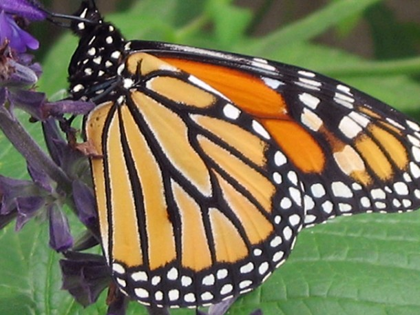 A monarch butterfly stops for a rest during it's fall migration. The butterfly can journey up to nearly 5,000 km to its winter home in Mexico or Southern California. In the spring they make another epic trip as they return to the north. (Photo: USDA)