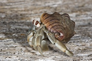 The land-based hermit crab Coenobita compressus lives inside a discarded snail shell and forages for food along the Pacific coast from Mexico to Peru. (Photo: Mark Laidre, UC Berkeley)