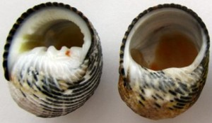 A marine snail shell newly vacated by its original owner (left) and a shell that has been remodeled and hollowed out by a hermit crab (right). (Photo: Mark Laidre, UC Berkeley)
