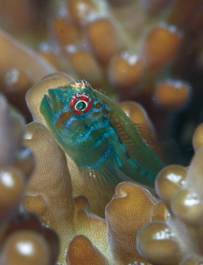 A juvenile Gobidon (goby) fish is shown on an Acropora coral. These fish spend their entire lives with the same coral, and protect the coral from encroaching seaweed. (Photo: Georgia Tech/Joao Paulo Krajewski)