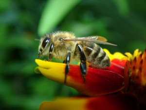 A western honeybee sitting on a flower (Photo: Wolfgang Hägele via Wikimedia Commons)