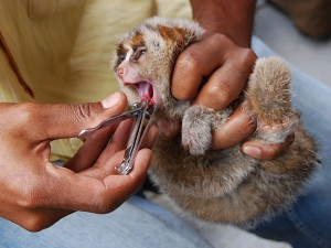 The teeth of a juvenile slow loris being removed by an animal trafficker. (Photo: International Animal Rescue)