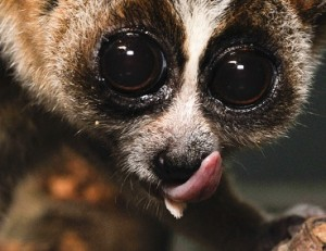 "The serrated sublingua (or ""under-tongue"") of a slow loris sticks out beneath the primary tongue. (Photo: David Haring - Duke Lemur Center)"