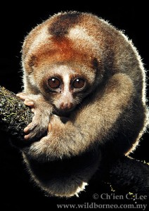 One of the newly identified species of slow loris, Nycticebus kayan. (Photo: Ch'ien C Lee)