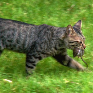 The domesticated cat with its natural hunting abilities helps homeowners keep their homes pest and vermin free. (Photo: Cobalt123/Flickr via Creative Commons)