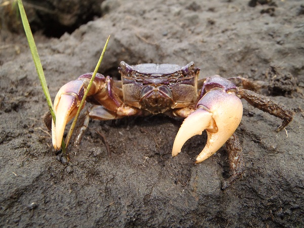 A large male purple marsh crab (Sesarma reticulatum) is seen clipping cordgrass with its claws. These crabs are nocturnal and typically live in burrows during the day to stay moist and avoid predators.  (Photo: Tyler Coverdale)