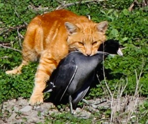 Cat with a bird called the American Coot (Photo: Debi Shearwater)