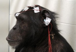 Electrodes are placed on the head of lab chimpanzee Mizuki for brain wave measurement (Photo: NIH)