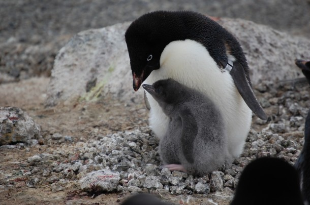 A baby Adélie penguin nuzzles up to its mother. This photo was taken inside one of three bird colonies on Ross Island near Antarctica. (Photo: Penguinscience.com)